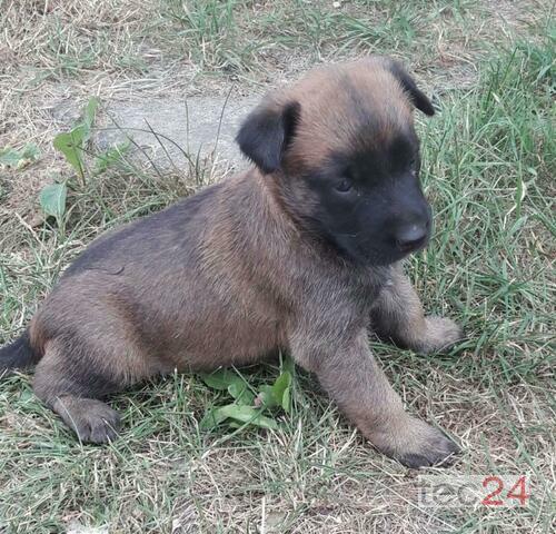CBM Malinois Belgische Schäferhunde